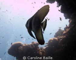 juvenile bat fish by Caroline Baille